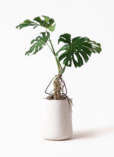観葉植物 モンステラ 8号 根上り バスク ミドル ホワイト 付き