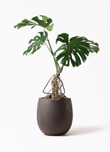 観葉植物 モンステラ 8号 根上り テラニアス バルーン アンティークブラウン 付き