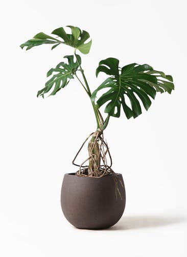 観葉植物 モンステラ 8号 根上り テラニアス ローバルーン アンティークブラウン 付き