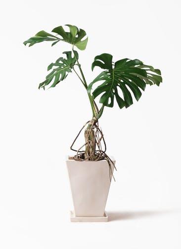 観葉植物 モンステラ 8号 根上り スクエアハット 白 付き