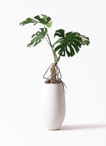 観葉植物 モンステラ 8号 根上り フォンティーヌトール 白 付き