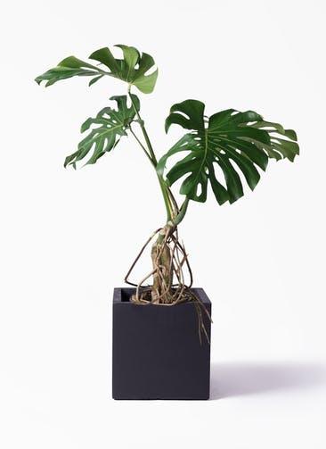 観葉植物 モンステラ 8号 根上り ベータ キューブプランター 黒 付き