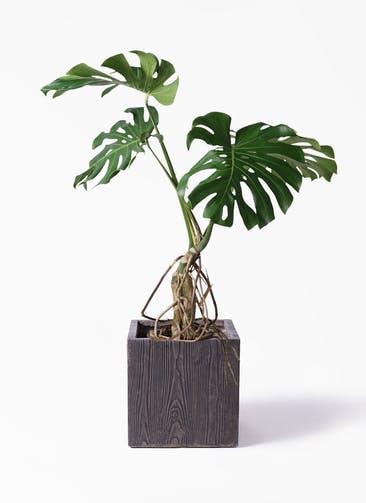 観葉植物 モンステラ 8号 根上り ベータ キューブプランター ウッド 茶 付き