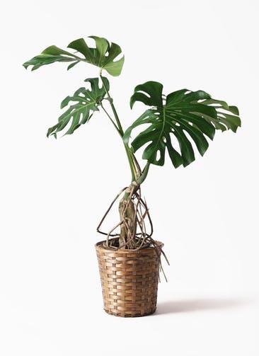 観葉植物 モンステラ 8号 根上り 竹バスケット 付き