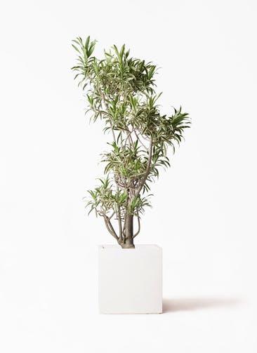 観葉植物 ドラセナ ソング オブ インディア 8号 バスク キューブ 付き