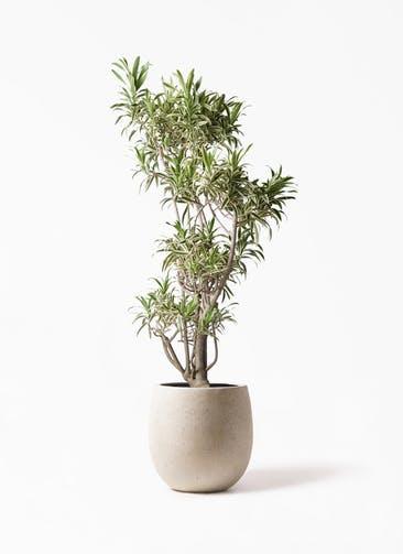 観葉植物 ドラセナ ソング オブ インディア 8号 テラニアス バルーン アンティークホワイト 付き