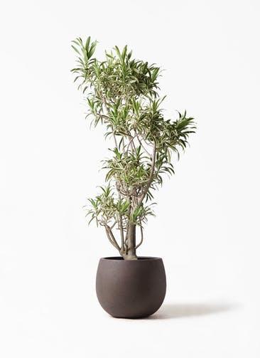 観葉植物 ドラセナ ソング オブ インディア 8号 テラニアス ローバルーン アンティークブラウン 付き