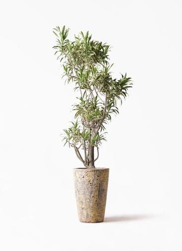観葉植物 ドラセナ ソング オブ インディア 8号 アトランティス クルーシブル 付き