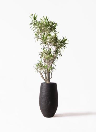 観葉植物 ドラセナ ソング オブ インディア 8号 フォンティーヌトール 黒 付き