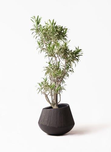 観葉植物 ドラセナ ソング オブ インディア 8号 エディラウンド 黒 付き