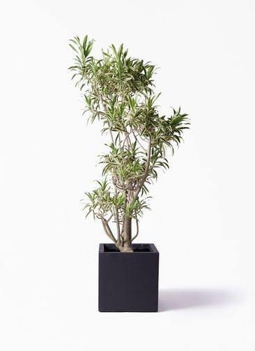 観葉植物 ドラセナ ソング オブ インディア 8号 ベータ キューブプランター 黒 付き
