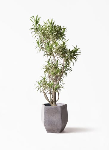 観葉植物 ドラセナ ソング オブ インディア 8号 ファイバークレイ Gray 付き