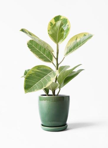 観葉植物 フィカス アルテシーマ 4号 ストレート アステア トール グリーン 付き