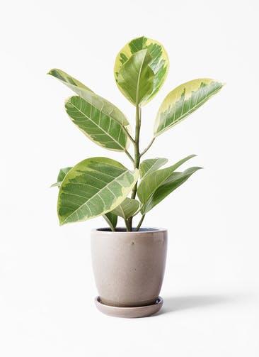 観葉植物 フィカス アルテシーマ 4号 ストレート アステア トール ベージュ 付き