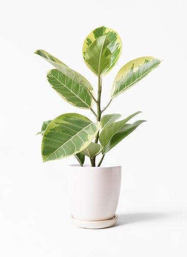 観葉植物 フィカス アルテシーマ 4号 ストレート アステア トール ホワイト 付き