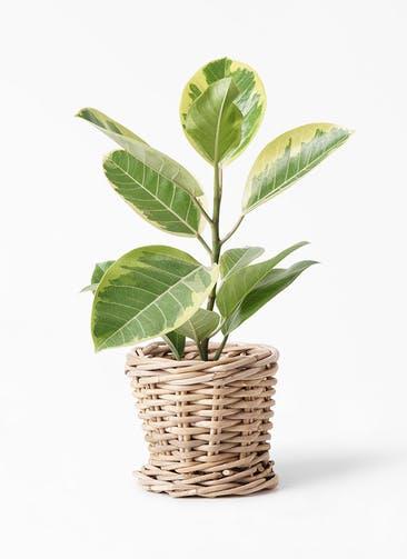 観葉植物 フィカス アルテシーマ 4号 ストレート グレイラタン 付き