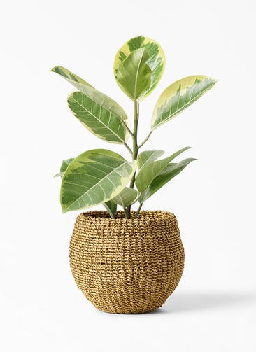 観葉植物 フィカス アルテシーマ 4号 ストレート アバカバスケット オリーブ 付き