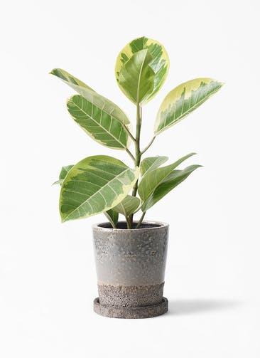 観葉植物 フィカス アルテシーマ 4号 ストレート ヴィフポット ダークブルー 付き