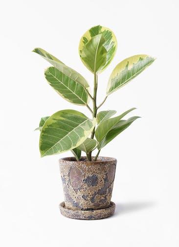観葉植物 フィカス アルテシーマ 4号 ストレート ハレー カーキー 付き