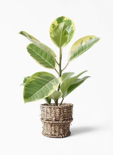 観葉植物 フィカス アルテシーマ 4号 ストレート バスケット 付き