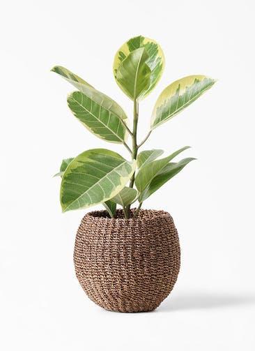 観葉植物 フィカス アルテシーマ 4号 ストレート アバカバスケット スモーク 付き