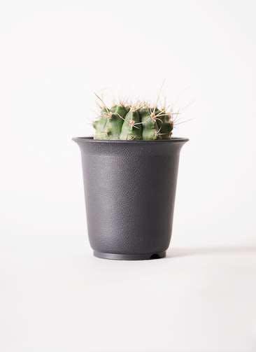 ギムノカリキウム 翠晃冠(すいこうかん) 2.5号 プラスチック鉢