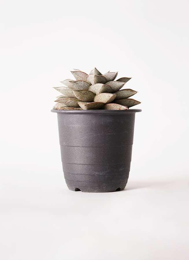ハオルチア 軟葉系 灰 実生選抜 3.5号 プラスチック鉢