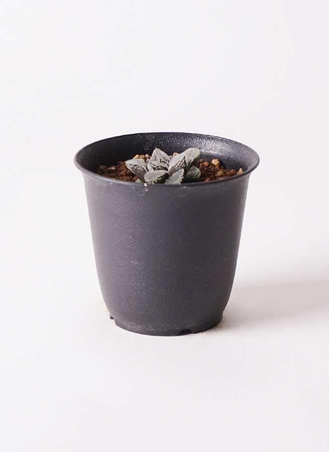 ハオルチア 軟葉系 灰 実生選抜 3号 プラスチック鉢
