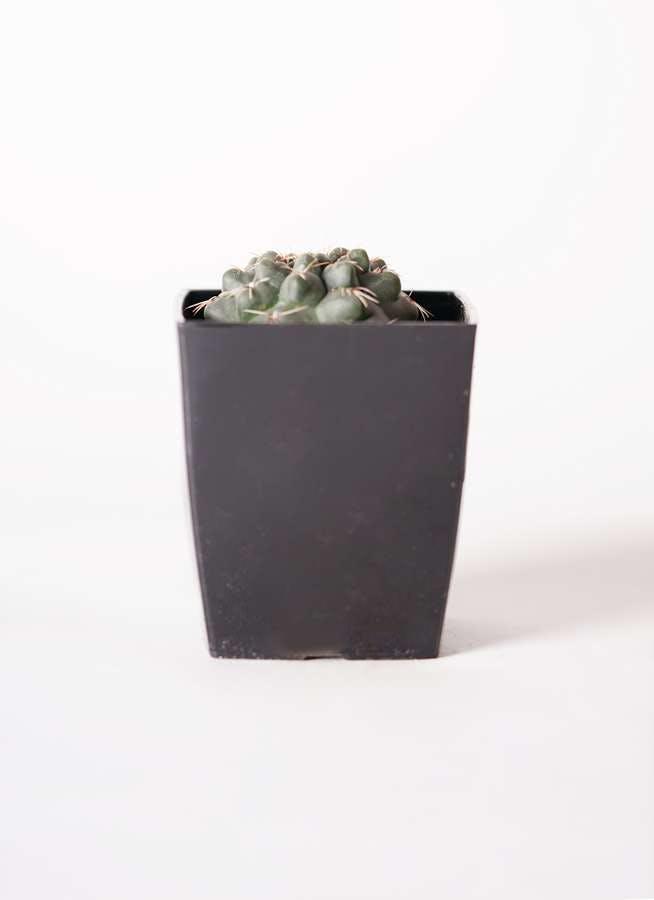 ギムノカリキウム 緋花玉(ひかだま) 3号 プラスチック鉢