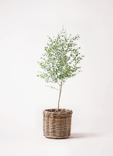 観葉植物 ユーカリ 6号 グニー グレイラタン 付き