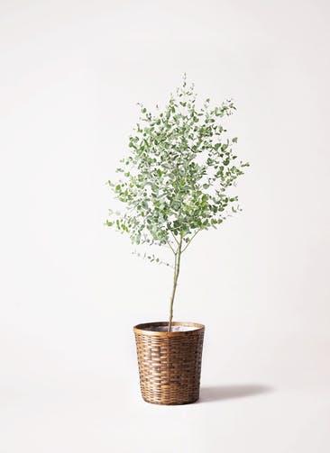 観葉植物 ユーカリ 6号 グニー 竹バスケット 付き
