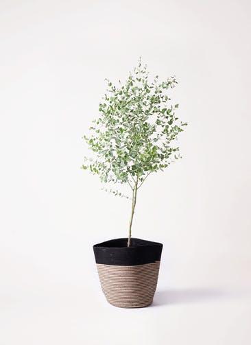 観葉植物 ユーカリ 6号 グニー リブバスケットNatural and Black 付き