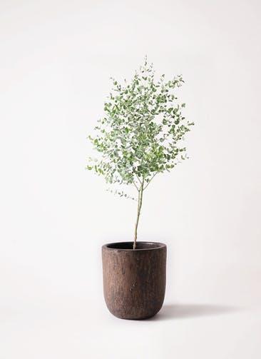 観葉植物 ユーカリ 6号 グニー ビトロ ウーヌム コッパー釉 付き