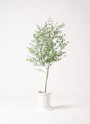 観葉植物 ユーカリ 6号 グニー プラスチック鉢