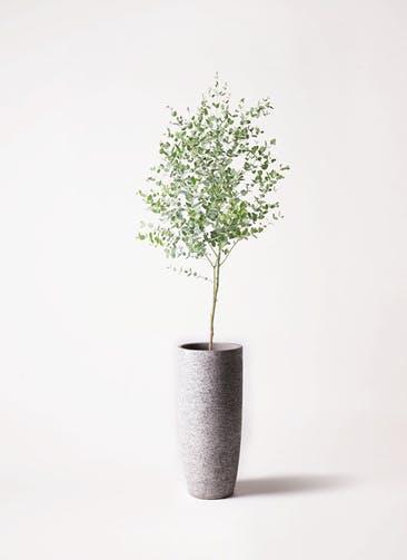 観葉植物 ユーカリ 6号 グニー エコストーントールタイプ Gray 付き