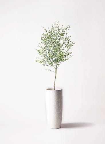 観葉植物 ユーカリ 6号 グニー エコストーントールタイプ white 付き