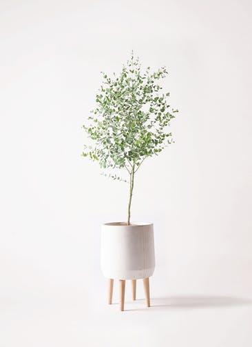 観葉植物 ユーカリ 6号 グニー ファイバークレイ white 付き