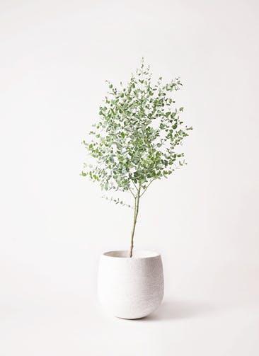 観葉植物 ユーカリ 6号 グニー エコストーンwhite 付き