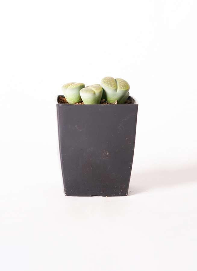リトープス 緑 3号 プラスチック鉢
