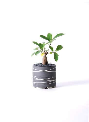 観葉植物 ガジュマル 3号 股仕立て Kross 【M size】