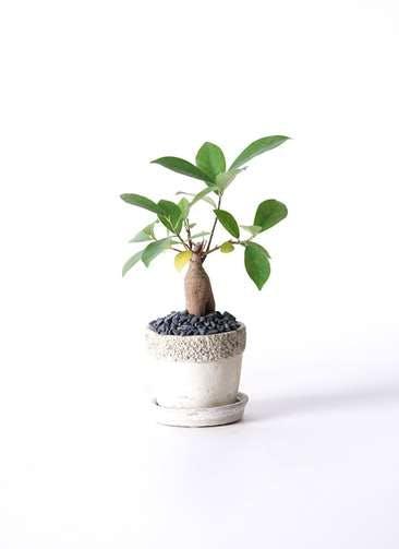 観葉植物 ガジュマル 3号 股仕立て リト ラウンド3