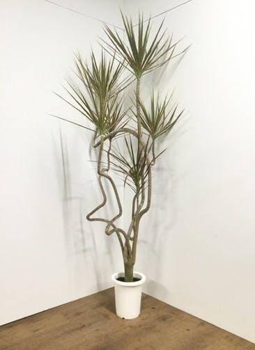 観葉植物 【210cm】 ドラセナ コンシンネ レインボー 8号 曲り #21819