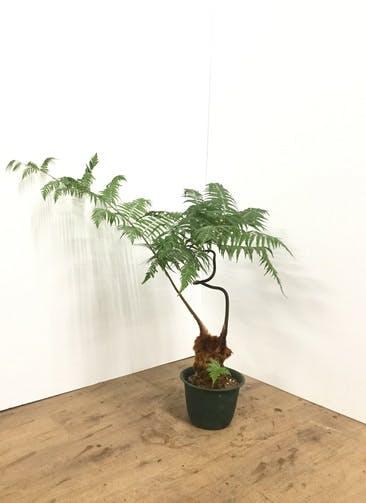 観葉植物 【60cm】ゴールデンモンキー(タカワラビ) 6号 #21875