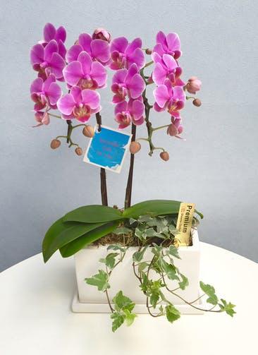 ミディ胡蝶蘭 紫 2本立ち パルテノ鉢付き