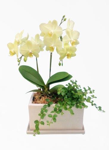 ミディ胡蝶蘭 黄色 2本立ち パルテノ鉢付き