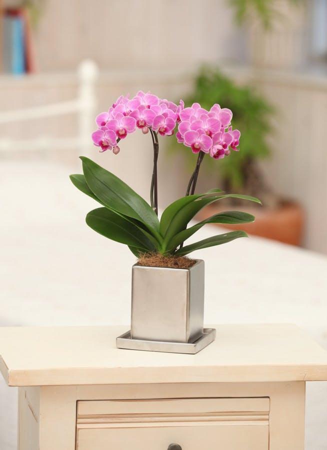 【敬老の日ギフト】ミニ胡蝶蘭 ピンク 2本立ち クローム鉢付き