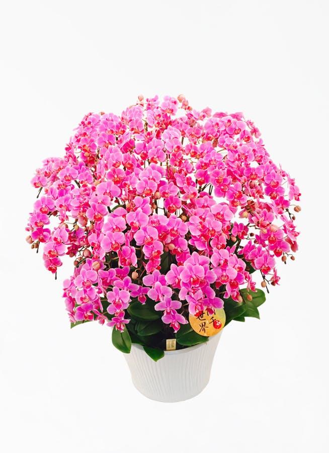 ミディ胡蝶蘭 ピンク 20本立ち 蘭千世界