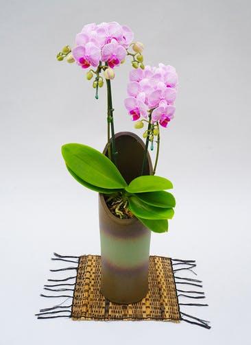 ミディ胡蝶蘭 リトルビビアン 2本立ち和鉢かぐや