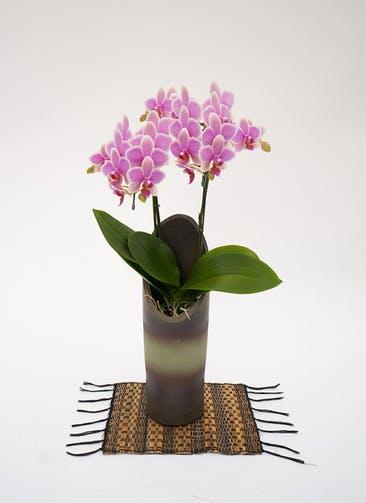 ミディ胡蝶蘭 ハワイアンマーメイド 2本立ち和鉢かぐや