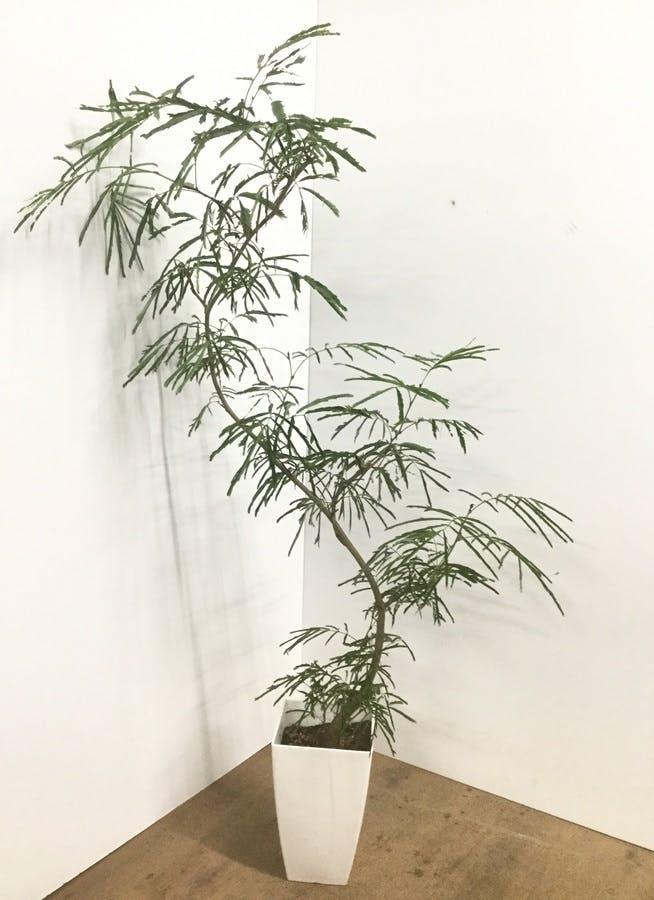 観葉植物 【150cm】エバーフレッシュ 8号 曲り 角鉢 #22032
